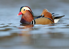 Mandarin Aix galericulata (Iain Leach) Tags: birdphotography wildlifephotography photograph image wildlife nature iainhleach wwwiainleachphotographycom canon canoncameras photography canon1dx canon5dmk3 beauty beautiful beautyinnature macro macrophotography closeup mandarin aixgalericulata duck wildfowl water