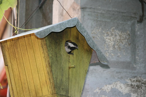 chickadee in the yellow house