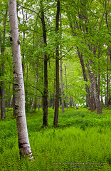 May Carpet (Jeff Newcomer) Tags: trees forest spring newhampshire birch ferns chesterfield