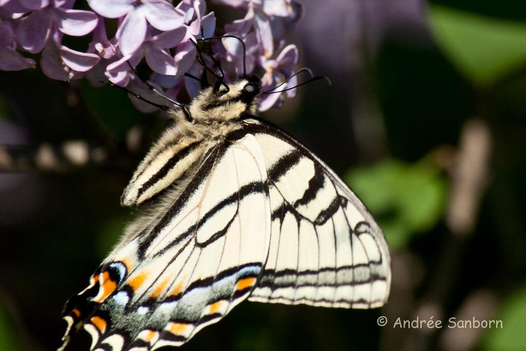 Eastern Tiger Swallowtail (Papilio glaucus)-24.jpg