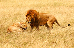Wild Authority (| HD |) Tags: africa family animal bravo king kenya wildlife lion safari jungle hd predator darwish lioness hamad savanna piratetreasure specanimal wwwhamaddarwishcom