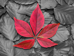 Selective Colour Leaf (Humber Bridge Boy) Tags: red leaf selectivecolour alexhay