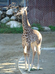 Baby Masai Giraffe at the Los Angeles Zoo
