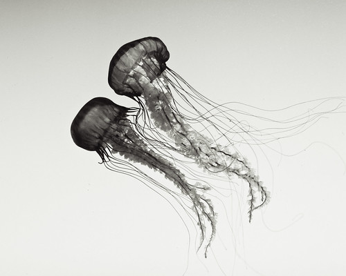 two sea jellies