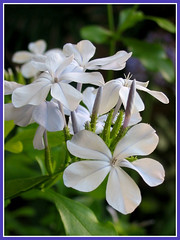 Plumbago auriculata (Cape Plumbago, Blue Plumbago) in our garden