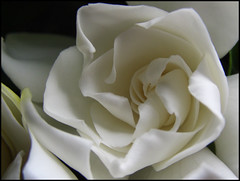 Gardenia (zana's world of flowers ( back and catching up )) Tags: white flower macro closeup whiteflower petals perfume flor fresh loveit lovely fiore gardenia tender scent candido bestphotos flowerotica fantasticflower biancocandido