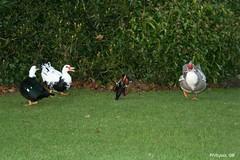 Hey Dodo! You run around him, make him dizzy! (philspics) Tags: birds canon wildlife ducks mandarinduck waterfowl eos350d