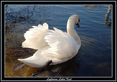 swan on leybourne lake (stevekeat images best viewed large) Tags: uk fab england lake bird nature water animal kent swan wildlife leybourne snodland supershot larkfield abigfave leybournelake diamondclassphotographer theunforgettablepictures onlythebestare natureunlimited eyeofthephotographer llovemypic showmeyourqualitypixels