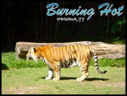 Tiger Presentation: Burning Hot