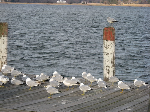 More Seagulls
