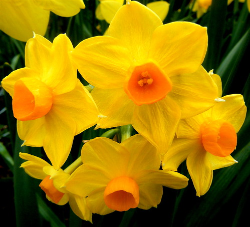 Narcissi Bunch