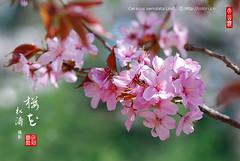 2008_04040062 (chinaphila) Tags: flower flora cherryblossom sakura cerasus  cerasusxyedoensiscvyedoensis cerasusserrulatalindl