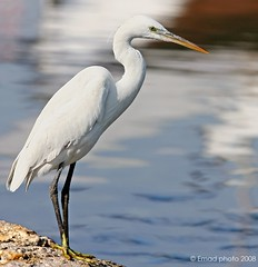 Slender Heron (EMAD AHMED) Tags: bird heron nature soe slender blueribbonwinner mywinners mywinner aplusphoto excellentphotographerawards brillianteyejewel kuwaitartphoto betterthengood
