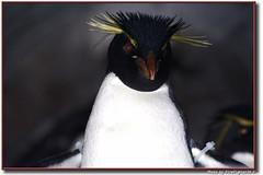 Rockhopper Penguin (Firefighter24-7) Tags: stlouis missouri stlouiszoo fabulous canonrebelxt forestpark rockhopperpenguin firefighter247