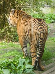 Sumatran tiger (karen'82) Tags: animal sumatrantiger londonzoo panasonicdmcfz8