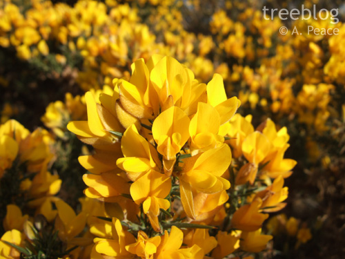 yellow gorse flowers