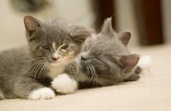 Fuzz Bombs (sneakerdog) Tags: rescue kitten kittens foster barcs sigma70300mmf456 markpeters baltimoreanimalrescueandcareshelter