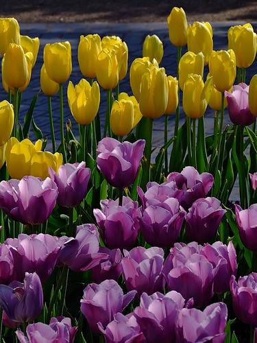 "Missouri Botanical (""Shaw's"") Garden, in Saint Louis, Missouri, USA - tulips 8"