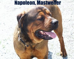 Napoleon (muslovedogs) Tags: playing dogs napoleon mastweiler