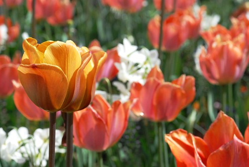 Tulips: Gold, Peach and White