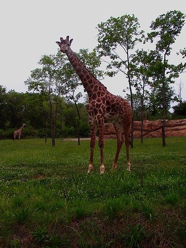 Zoo Giraffe in the Mist