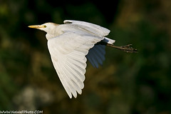 egret (NaWaFoOo) Tags: bird kuwait  egret  nawaf  kuw supershot    kwtphoto    nawafooo  nawafphoto  nawafphotos