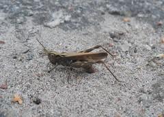 Egglaying grasshopper