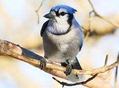 blue jay at Lake Meyer Park IA 854A6006 (lreis_naturalist) Tags: blue jay lake meyer park winneshiek county iowa larry reis