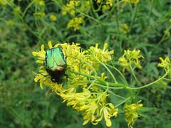 Aranyos rózsabogár (Cetonia aurata) (jetiahegyen) Tags: rovar virág pilis túra túrázás kirándulás tour hiking outdoor okt országoskéktúra kéktúra insect