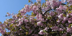 Pink Blossoms & Blue Sky (johnsrichards) Tags: flowers screenshot bc victoria snagit oakbay