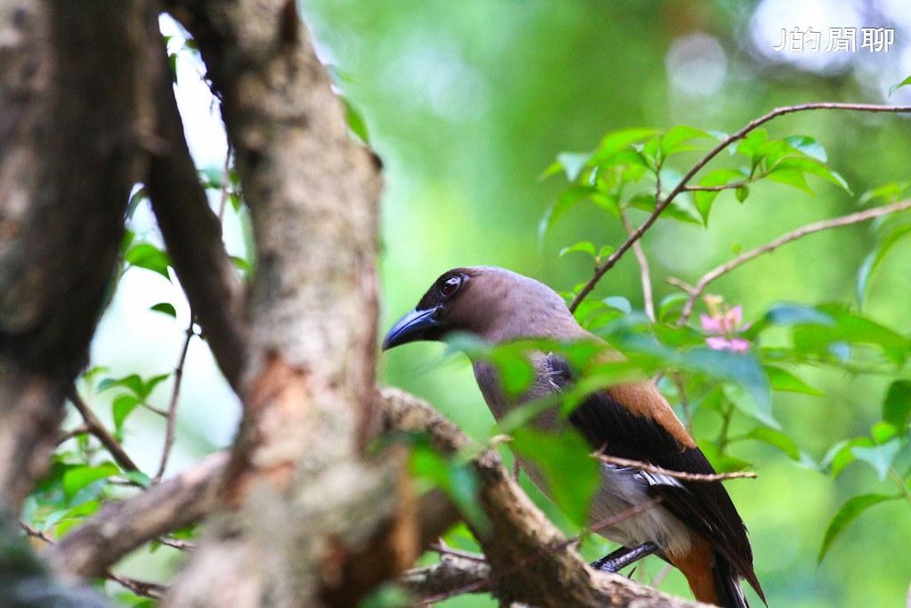 樹鵲 鴉科 20110519-297-J的閒聊
