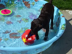 Chocolate Lab Puppy in Kiddie Pool: Dakota