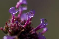 Untitled........ (Jim Oleachea) Tags: flower macro water blossom bokeh magenta waterdroplets