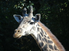 Masai Giraffe at the Los Angeles Zoo