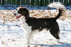 IMG_5810jw (hz536n/George Thomas) Tags: winter dog white snow oklahoma ess darwin spaniel springer springerspaniel stillwater 2007 englishspringerspaniel canon30d vob canonef70200mmf4lusm pse5