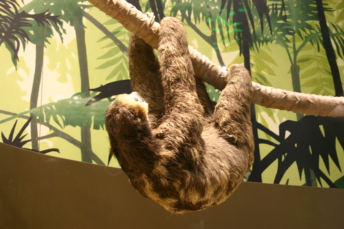 Monkey Hanging Upside Down From Tree Zoo Sloth Hangs Upside Down on