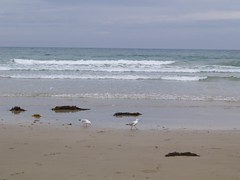 Lorne Seagulls
