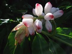 Heaven's Blooms- Explore #83 (Chris C. Crowley) Tags: flowers explore pinkflowers tropicalflowers fiatlux blueribbonwinner top20flowers thebeesknees masterphotos sugarmillgardens onlythebestare heavensblooms