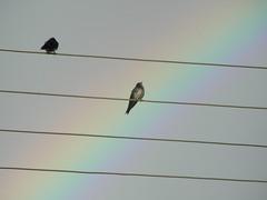 andorinhas (marilisa gualberto) Tags: sky bird nature birds natural passaro allxpressus