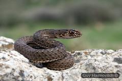 Montpellier Snake (Malpolon monspessulanus) תלום קשקשים מצוי