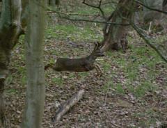 Leaping Deer (Sandy Beach Cat) Tags: wood uk nature scotland wildlife running deer leaping eastlothian pentaxk10d