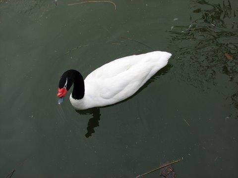 black-necked swan zoo lake