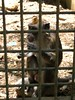 Philippine Macaque (Bradfordian Cliff) Tags: monkey philippines palawan macaque crocodilefarm philippinemacaque palawanwildliferescueandconservationcenter