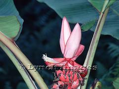 Musa velutina 4-1 (HH) (Lynch Images) Tags: banana bunch economic botany musa inflorescence musaceae ethnobotany bract panicle velutina velvetpinkbanana