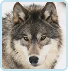 wolf03