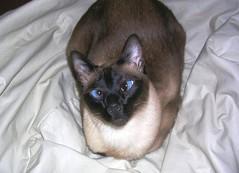 choño en la cama (jose ferreyra) Tags: en cat la general gato pico cama siames pampa choño