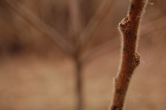 2677 (jrsquee) Tags: brown fuzzy sumac twig stick