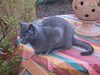 Cat / .....Bärchen ........ (lydialuise) Tags: blue cat germany deutschland foto blau garten kater russblau