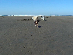 Baba & Desi at Ocean Beach (the other Martin Taylor) Tags: sanfrancisco dogs desi oceanbeach babalu havanese smalldogssf