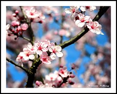 Cherry Blossoms (Fraggle Rockstar) Tags: california ca pink sky flower tree cherry nikon blossom bokeh napa cherryblossoms nikkor d300 colorphotoaward superaplus aplusphoto diamondclassphotographer goldstaraward